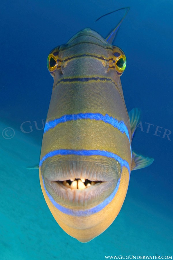 QUEEN TRIGGERFISH ATTACK!